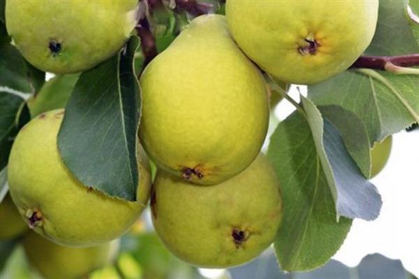 О груше свердловчанка: описание и характеристика сорта, особенности