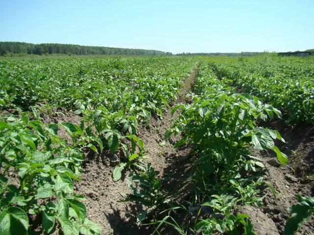 О картофеле крепыш: описание семенного сорта, характеристики, агротехника