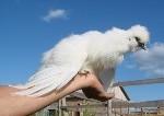 О породе кур орловские: описание и характеристика, как отличить пол цыпленка