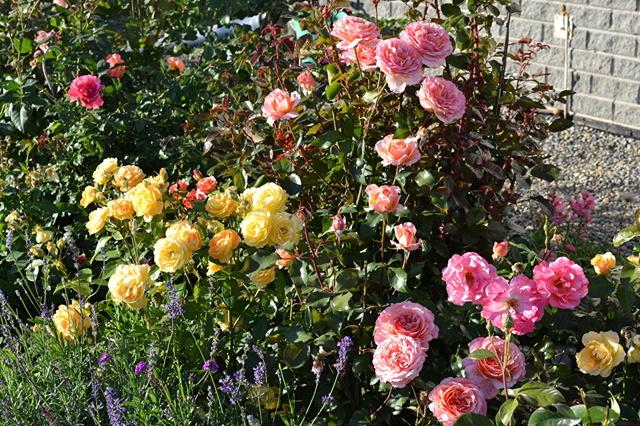 О пересадке роз осенью на другое место: когда можно и как правильно пересаживать