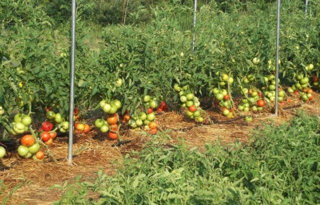 Можно ли поливать рассаду помидоров сывороткой с йодом, молочной