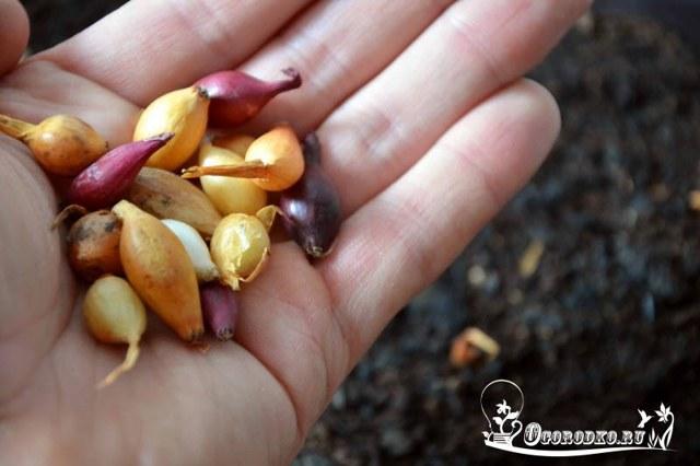 О подготовке лука севка к весенней посадке: замачивание, прогрев, морение