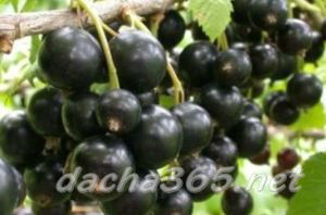 Лучшие сорта смородины черной для подмосковья: самые сладкие, крупноплодные
