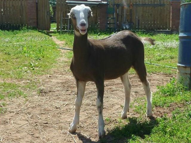 О лучших породах молочных коз: дойные, без запаха, молочного направления