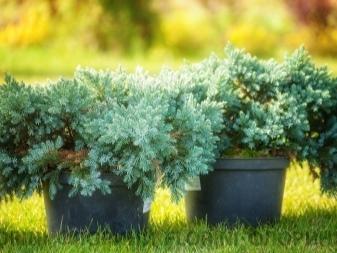 О можжевельнике блю стар: описание сорта, как посадить и ухаживать