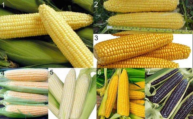 О кукурузе сахарной: посадка и уход в открытом грунте, технология выращивания