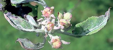 О мерах борьбы с мучнистой росой на яблоне: как бороться с белым налетом