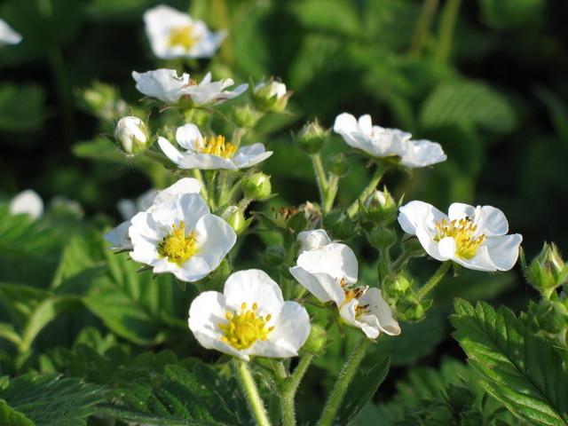 О подкормке клубники во время цветения и плодоношения: чем и как удобрить