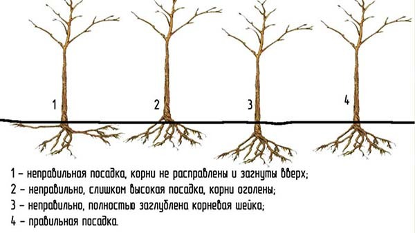 Не цветут и не плодоносят яблони: почему так происходит и что делать