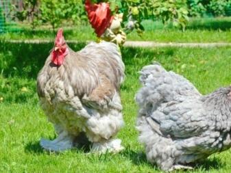 О породе кур барневельдер: описание и характеристика, как отличить пол цыпленка