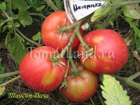 Настенька: описание сорта томата, характеристики помидоров, посев
