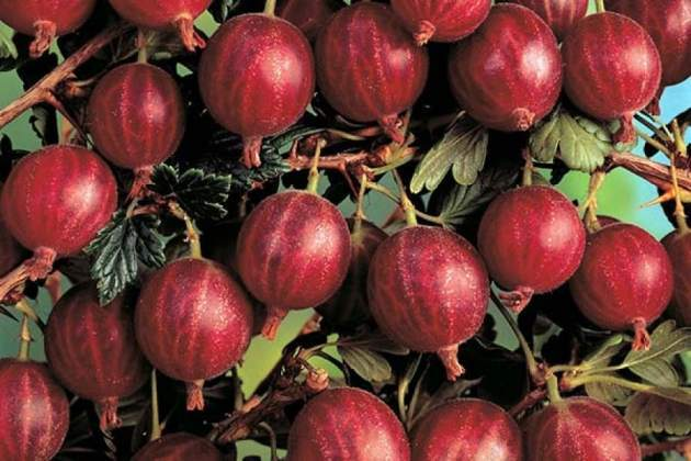 О крыжовнике консул: описание и характеристики сорта, уход и выращивание
