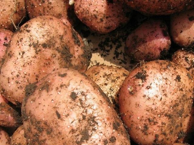 картофель мерлот описание сорта фото отзывы других сайтах