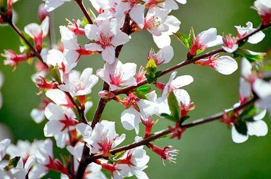 О вишне китайской: как выглядит, почему так называется, посадка и уход