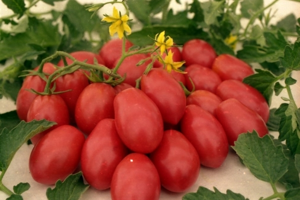 О томате петруша огородник: характеристики сорта, уход и выращивание