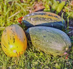 О выращивании тыквы в открытом грунте: как посадить, ухаживать и поливать