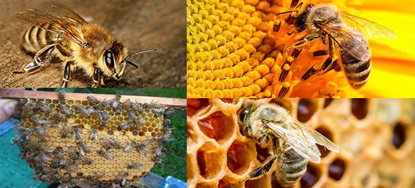 О пчелах карника: особенности и описание породы, их недостатки и характеристики