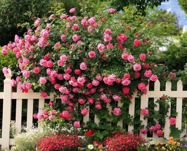 О многолетних вьющихся цветах для сада: описание плетущихся многолетников