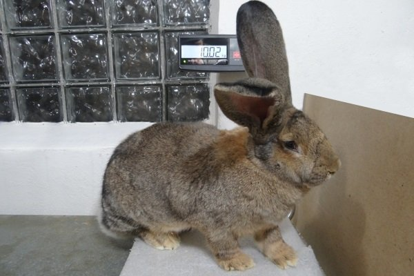 О породах кроликов: какие бывают промышленные виды, как определить по внешности