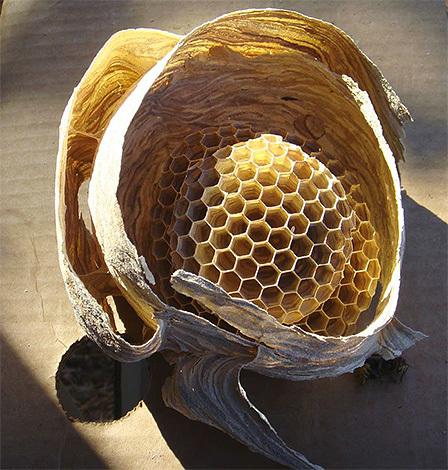 О гнезде шершней: как выглядит улей, как найти, когда покидают свои гнезда
