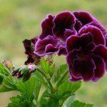 О пеларгонии королевской: уход, условия для размножения в домашних условиях