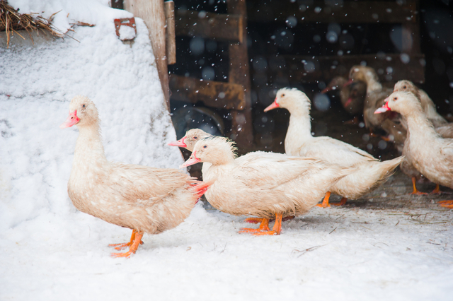 О кормлении домашних уток: правила и корма, что нельзя давать птицам