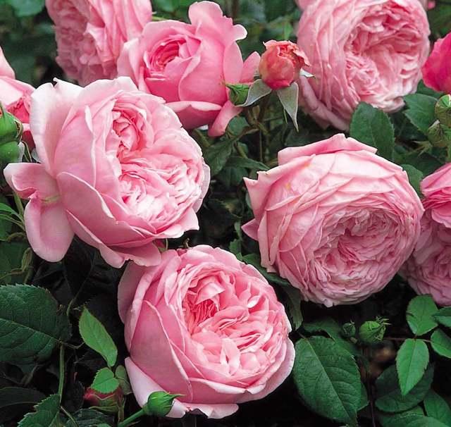 О розе folklore: описание и характеристики, выращивание сорта английской розы