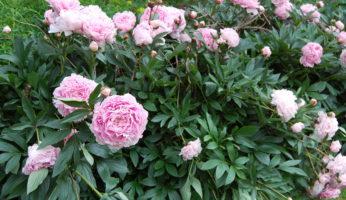 О пионе молочноцветковом: описание и характеристики сортов сара бернар, дюшес