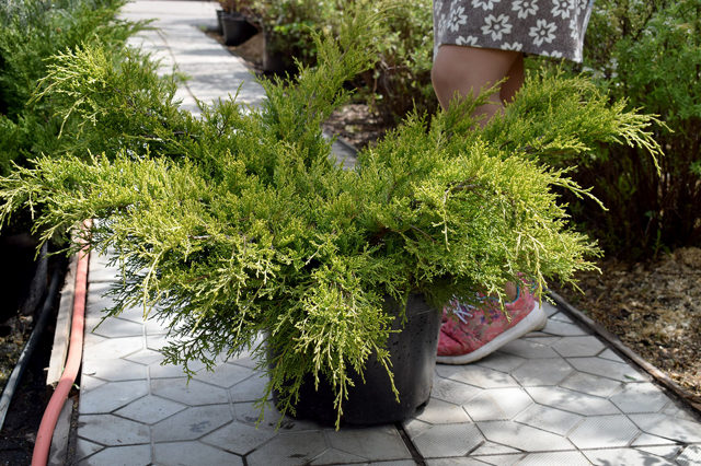 О можжевельнике китайском олд голд: описание сорта, как посадить и ухаживать