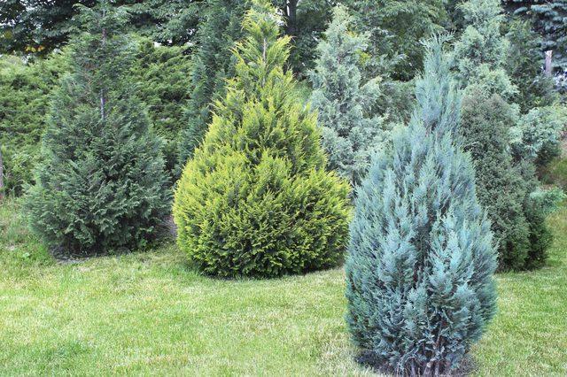 О можжевельнике репанда: описание сорта, как посадить и ухаживать