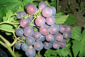 О винограде рошфор: описание сорта, происхождение, характеристики, вкус