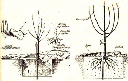 О вишне мичуринской: описание сорта, способы выращивания и ухода