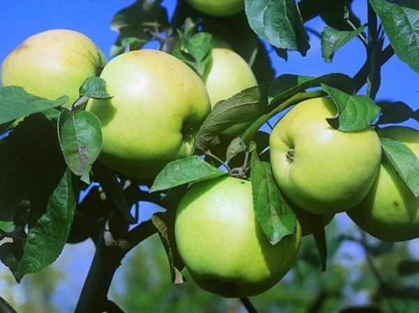 О пепине шафранном: описание и характеристики, выращивание сортовой яблони