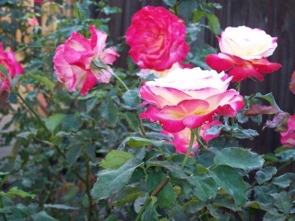 О розе дабл делайт (double delight): описание сорта чайно гибридной розы
