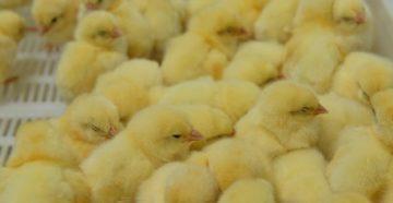 О лечении болезней цыплят: почему опускают крылья и дохнут, что делать