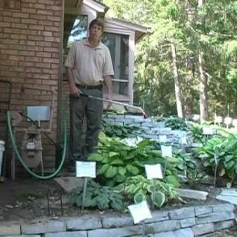 О подкормке хосты (удобрения и полив растения для хорошего роста)