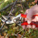 О обрезке персика: когда и как правильно ее делать весной, летом, осенью