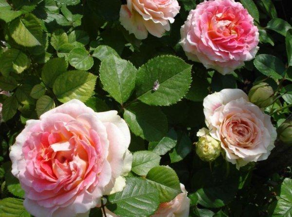 О розе cesar: описание и характеристики, выращивание плетистой розы
