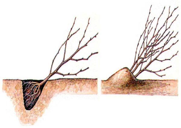 О посадке и уходе за колоновидной яблоней, агротехника выращивания