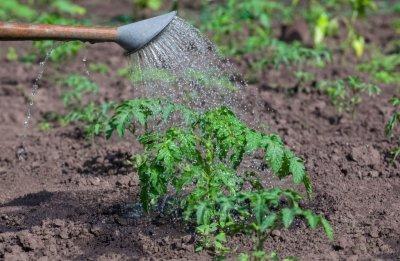 О подкормке томатов после высадки в грунт: чем удобрять, первая подкормка
