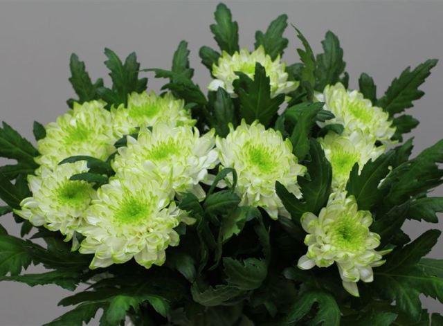 О кустовой белой и желтой хризантеме зембла: характеристики, посадка и уход