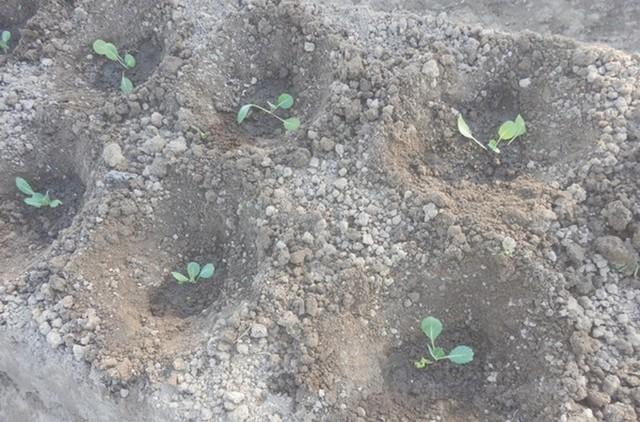 О заморозках: боится ли рассада капусты заморозки весной, какие выдерживает