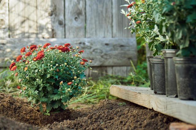 О посадке и уходе за хризантемой кустовой (описание и характеристики сортов)