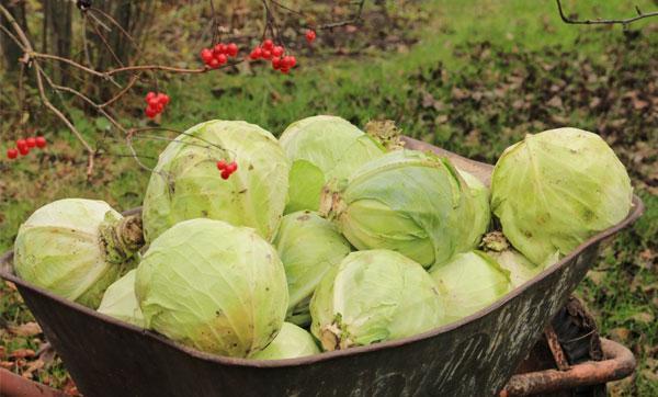 О белокачонной поздней белорусской капусте: описание сорта, характеристики