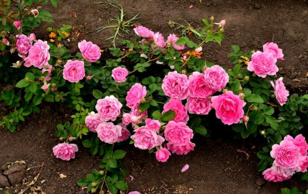 О посадке и уходе в открытом грунте за парковой розой для новичков, выращивание