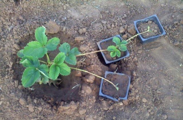 О клубнике сан андреас: описание сорта, агротехника посадки и выращивания