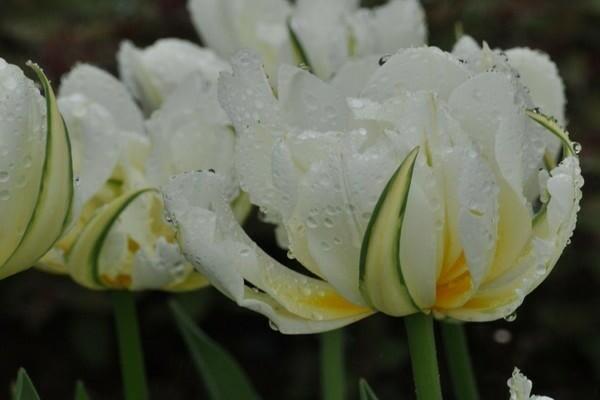 О пионовидных тюльпанах: описание сорта patricia andrea, посадка и размножение