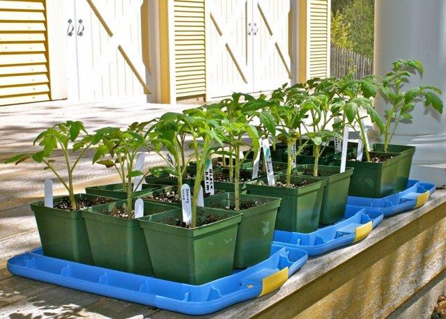 Медовый спас: описание сорта томата, характеристики помидоров, посев