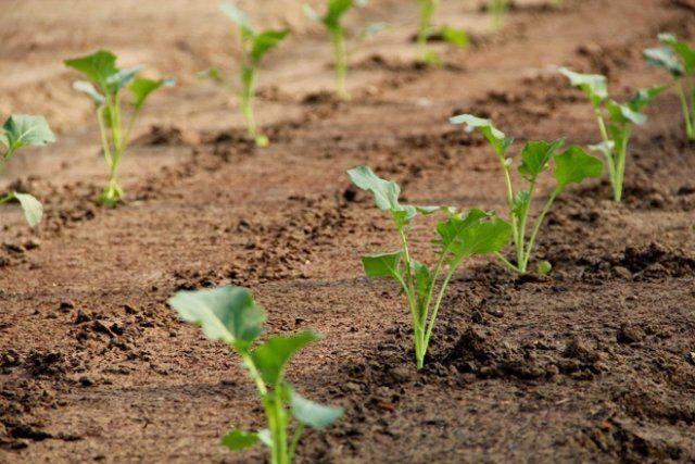 О посадке цветной капусты в открытом грунте: когда высаживать, уход