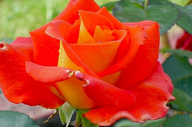 О розе моника (monica): описание и характеристики сорта чайно-гибридной розы